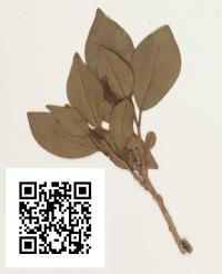 <i>Brunfelsia plowmaniana</i>
