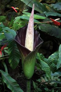 <I>Amorphophallus hewittii</I>