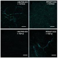 Molecular Probes Fibronectin ECM
