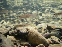 Juvenile Steelhead Trout