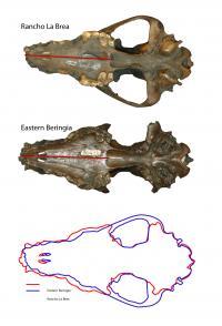Pleistocene Wolf Skulls