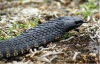 Tiger Snake (1 of 2)