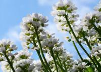 <I>Arabidopsis</I>