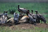 Vultures in Cambodia