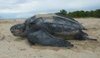 Adult Leatherback Sea Turtle