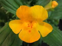 <i>Mimulus peregrinus</i>