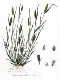 <i>Setaria viridis</i>