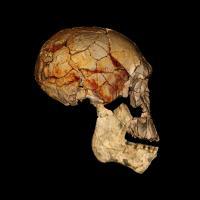 KNM-ER 1470 Cranium