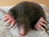 European Mole (<i>Talpa europaea</i>)