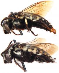 <i>Thyreus denolii</i>