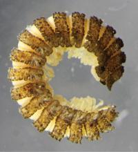 <i>Nephopyrgodesmus eungella</i>