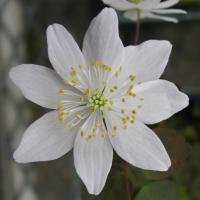 <i>Thalictrum thalictroides</i> Wild-Type