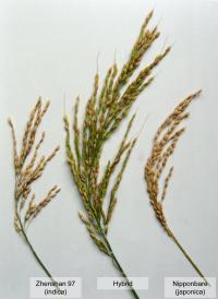 Hybrid Rice (1 of 2)