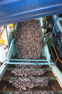 Anchoveta in a Peru Processing Plant