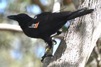 Tagged Crow