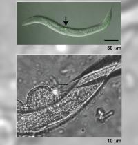 Migrating Cells in a Nematode