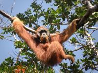Sumatran Orangutan (1 of 3)