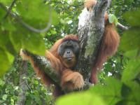 Sumatran Orangutan (2 of 3)