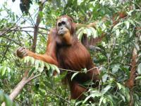 Sumatran Orangutan (3 of 3)
