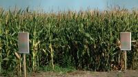 GMO Corn Field