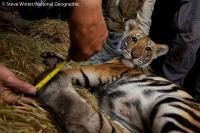 Tiger Cub, Thailand