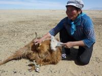 Goat Combing