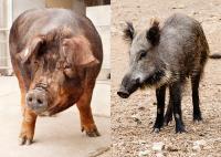 Pig vs. Boar