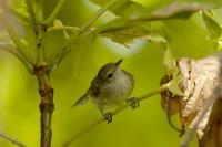 Seychelles Warbler