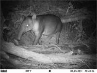Tapir (1 of 2)