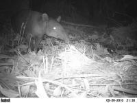 Tapir (2 of 2)
