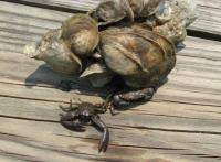 Green Porcelain Crabs