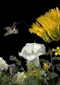 Moth Seeks Nectar
