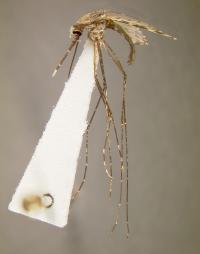 Killer Mosquito: Anopheles gambiae, the World's Worst Malaria Vector