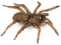 Female Aptostichus barackobamai