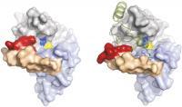 3D Cathepsin B