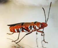<i>Dysdercus fasciatus</i>