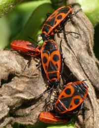 <i>Pyrrhocoris apterus</i>