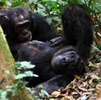 Grooming Chimpanzees