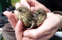 Young Savannah Sparrows