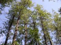 Balsam Poplar Trees