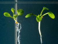 <I>Arabidopsis thaliana</I>