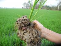 Riceworm