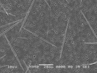 Phytoplankton: <I>Pseudo-nitzschia cuspidata</I>