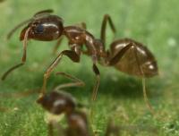 Argentine Ant