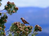 Crossbill Feeding on Pinyon Pine