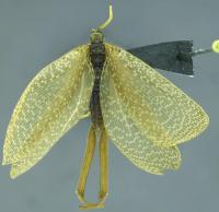 <i>Austromerope braziliensis</i>