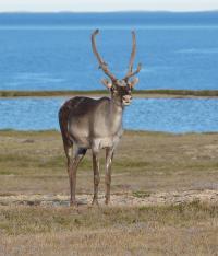 Molnar Caribou