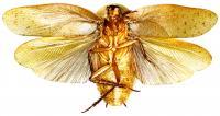 <i>Pseudophoraspis incurvata</i>