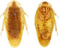 <i>Pseudophoraspis clavellata</i>