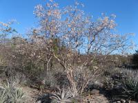 <i>Luetzelburgia bahiensis</i> in a Caatinga Setting